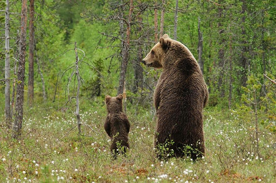 Full-Grown Bears Giving Lessons to Their Babies (1)