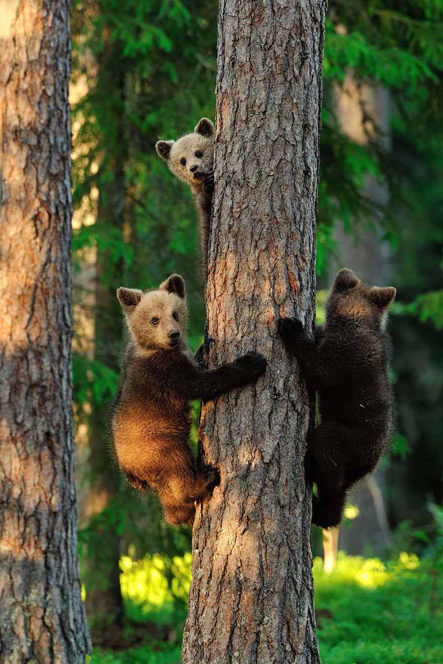 Full-Grown Bears Giving Lessons to Their Babies (10)