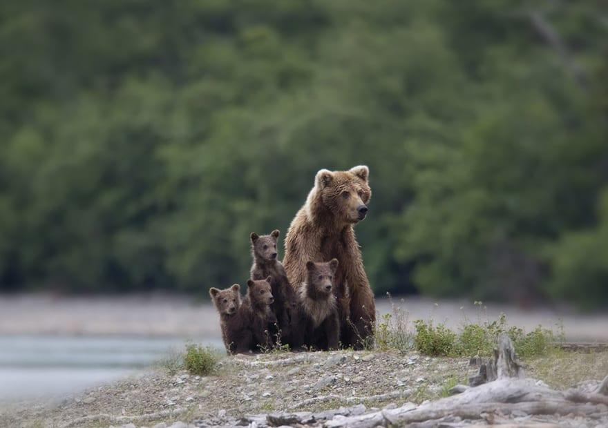 Full-Grown Bears Giving Lessons to Their Babies (11)