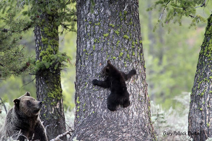 Full-Grown Bears Giving Lessons to Their Babies (13)