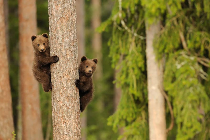 Full-Grown Bears Giving Lessons to Their Babies (2)