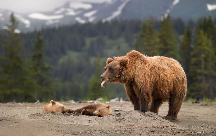 Full-Grown Bears Giving Lessons to Their Babies (3)