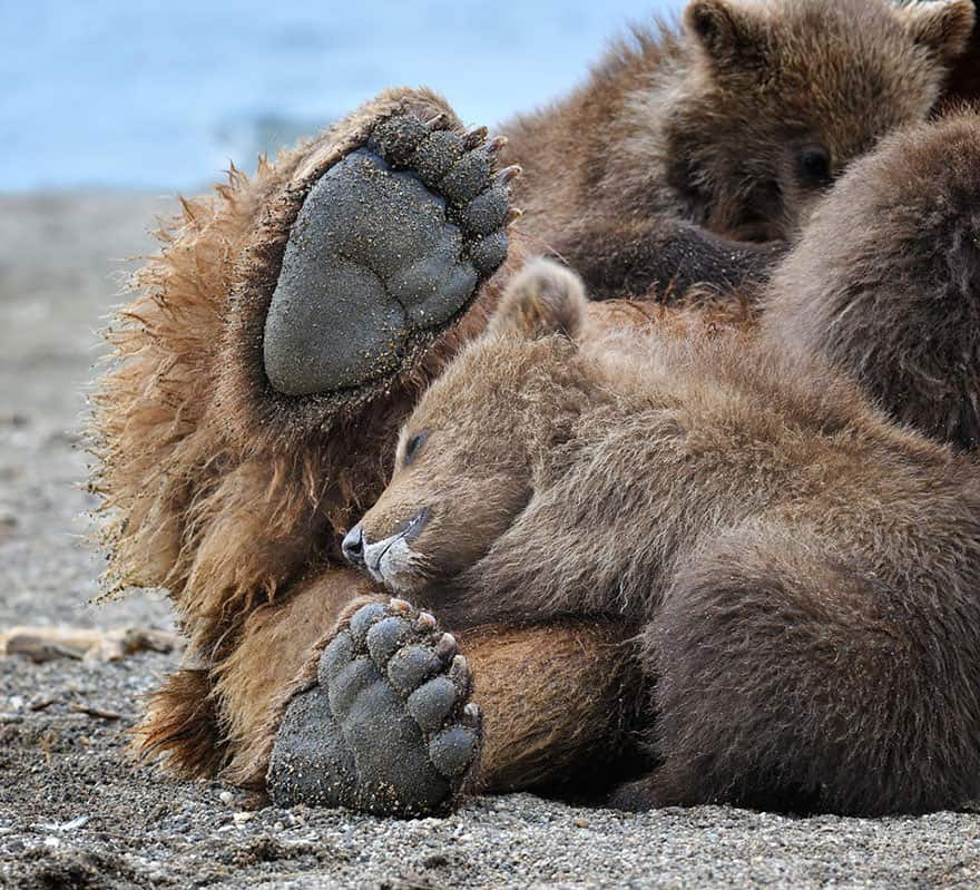 Full-Grown Bears Giving Lessons to Their Babies (4)