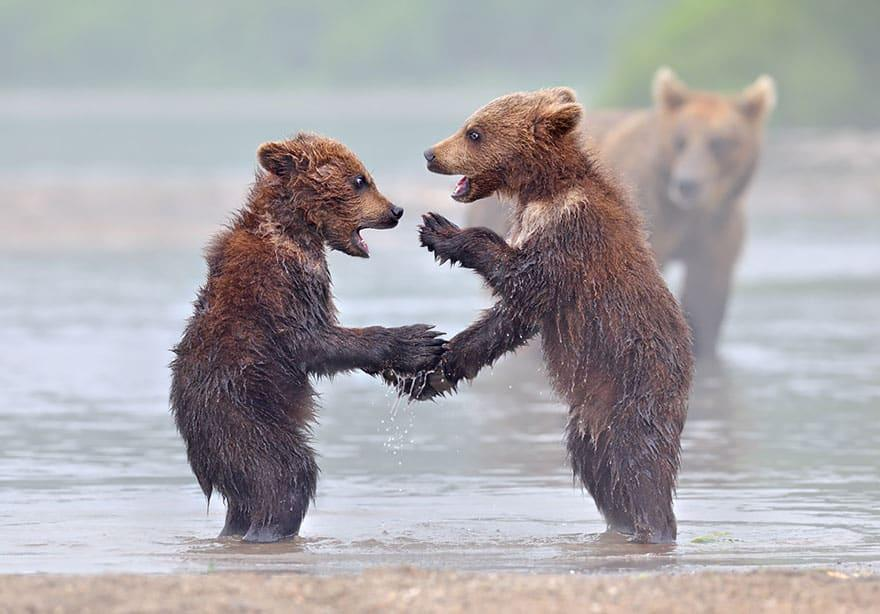Full-Grown Bears Giving Lessons to Their Babies (5)