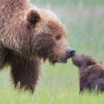 Full Grown Bears Giving Lessons to Their Babies 6