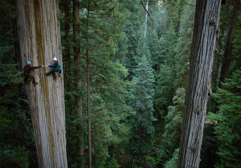 16. Redwood tree climbing