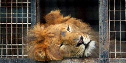 Circus-Lion-Freed-From-Cage-Feels-Earth-Beneath-His-Paws-for-First-Time