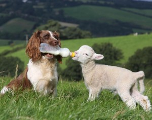 springer-spaniel-bottle-feeds-lamb-britain