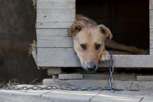 Chained Dog2