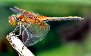 When You See A Dragonfly Too Often You Might Want To Know These 6 Meanings