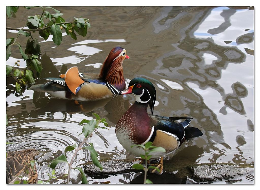 Mandarin duck with another duck in Central Park