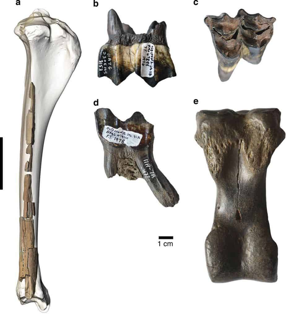 Fossil evidence of ancient camels