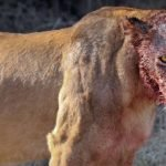 lion after kill