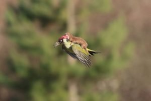 baby weasel takes a magical ride on woodpeckers back 650x434