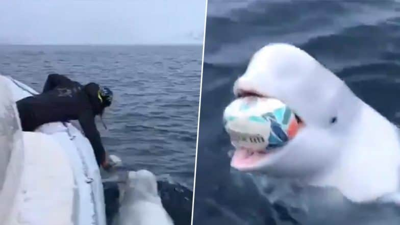 Beluga Whale Playing Fetch With Man 784x441