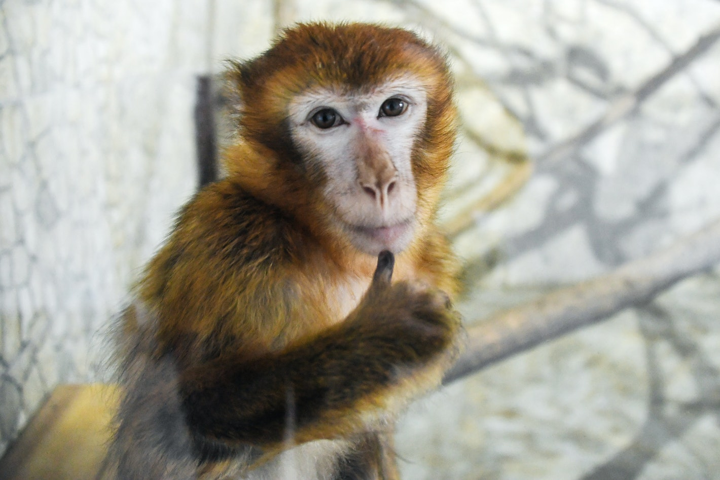 Humans last shared a common ancestor with macaques