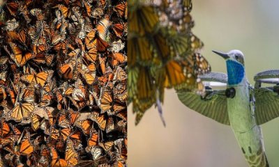 Monarch Hummingbird